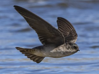 - Andean Swallow