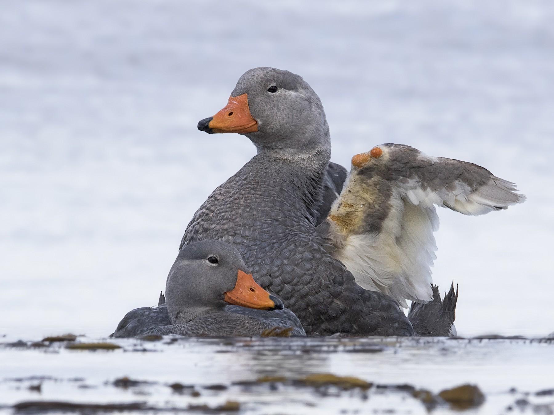 Flightless Steamer-Duck - Pio Marshall
