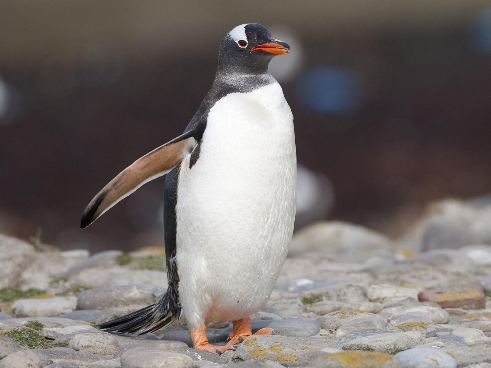Gentoo Penguin - Brian Sullivan