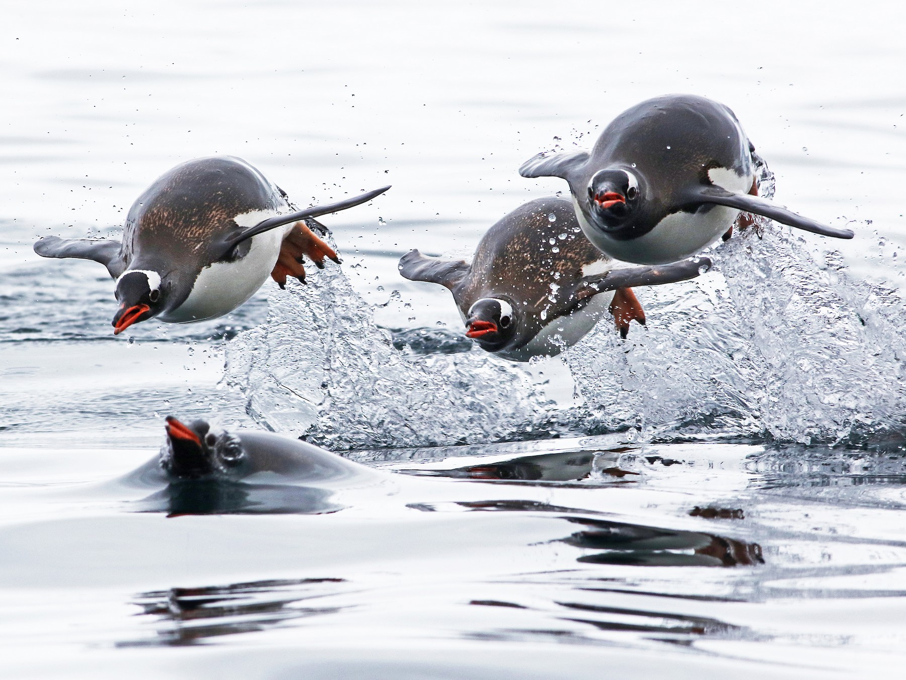 Gentoo Penguin - Andrew Spencer