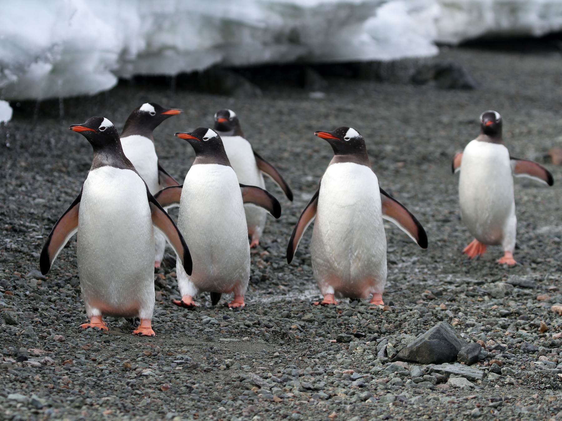Gentoo Penguin - James (Jim) Holmes