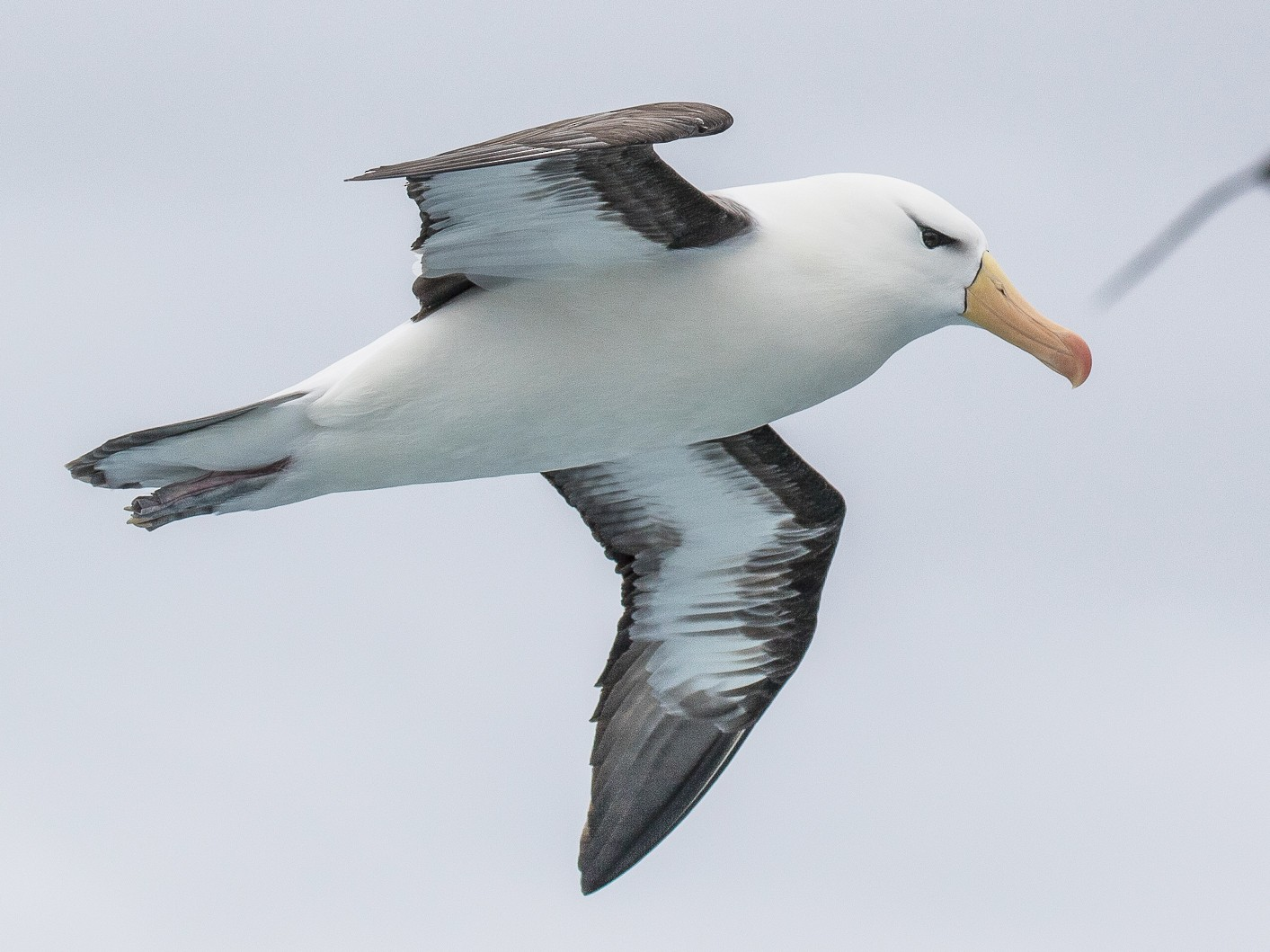 Black-browed Albatross - Peter Crook