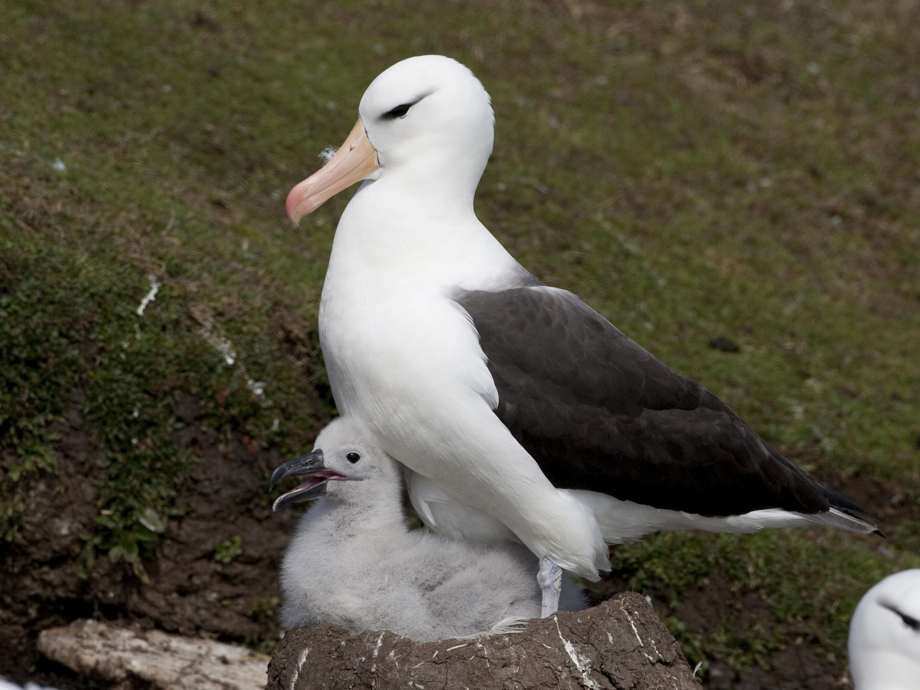 Black-browed Albatross - Brian Sullivan