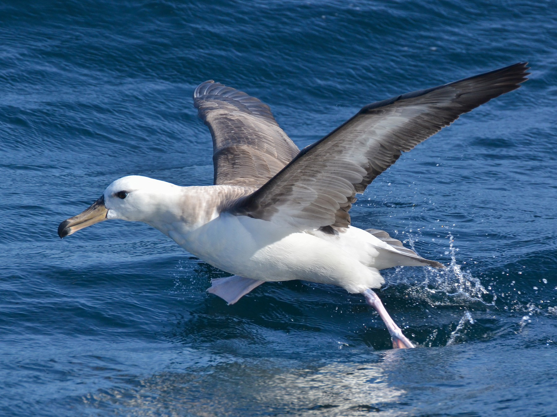 Black-browed Albatross - Pablo Gutiérrez Maier