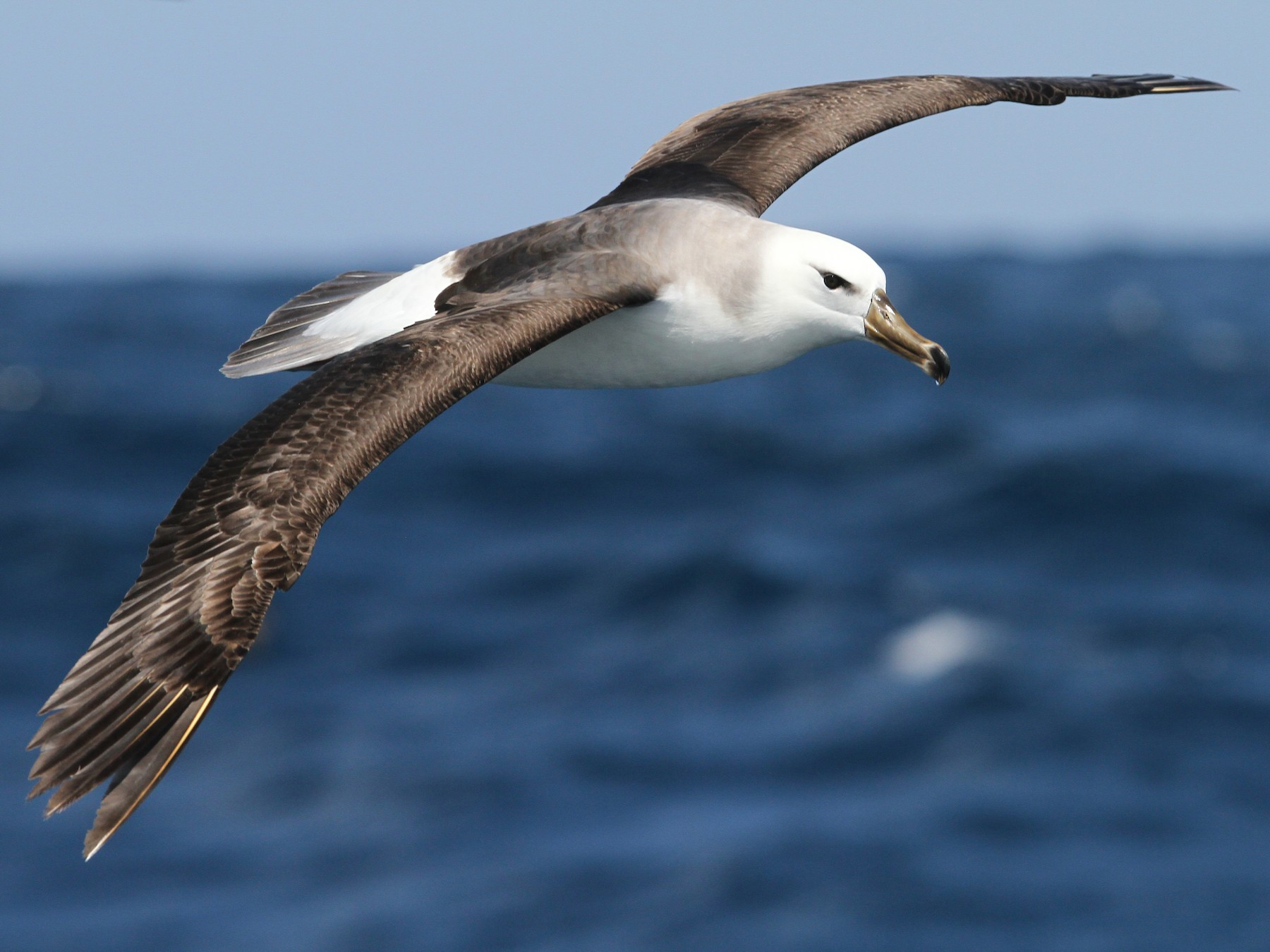 Black-browed Albatross - Christoph Moning