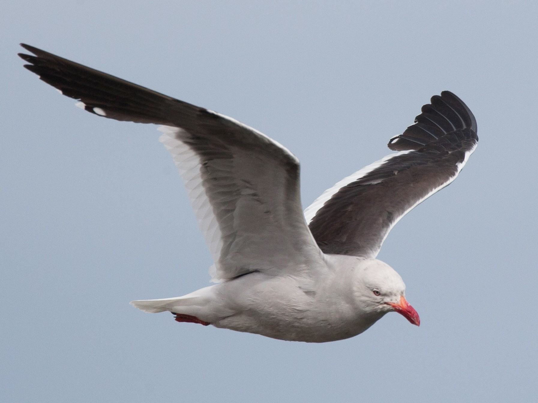 Dolphin Gull - Chris Wood