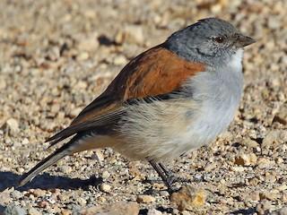 - Red-backed Sierra-Finch