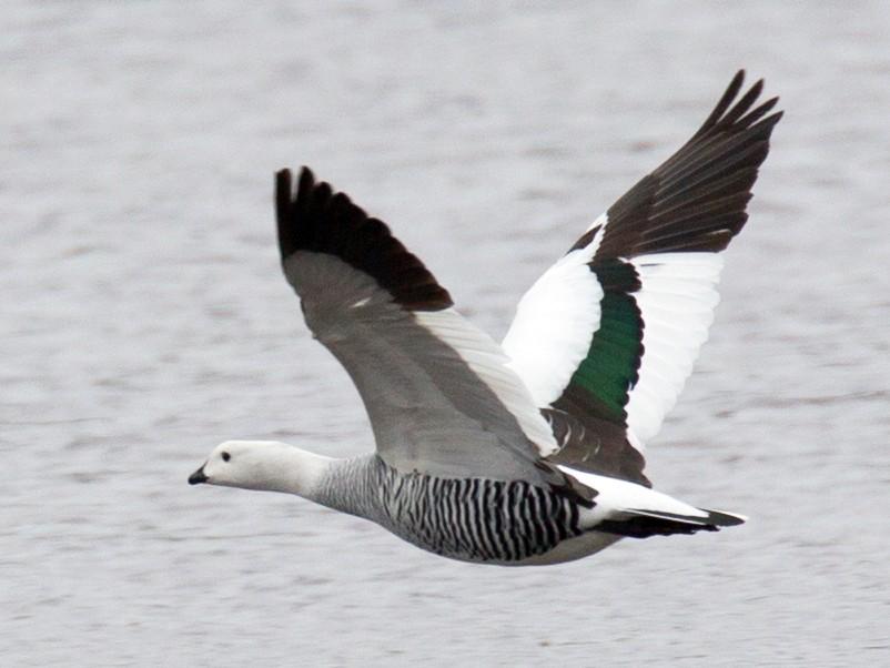 Upland Goose - Robert Lewis