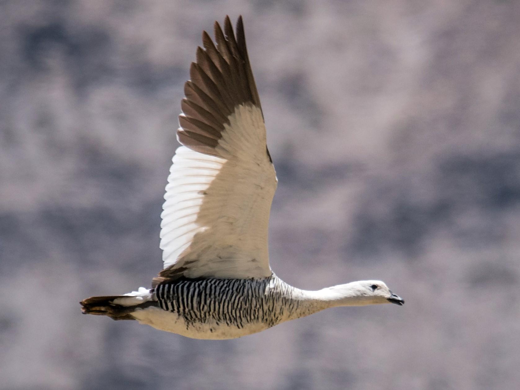 Upland Goose - Vicente Pantoja Maggi
