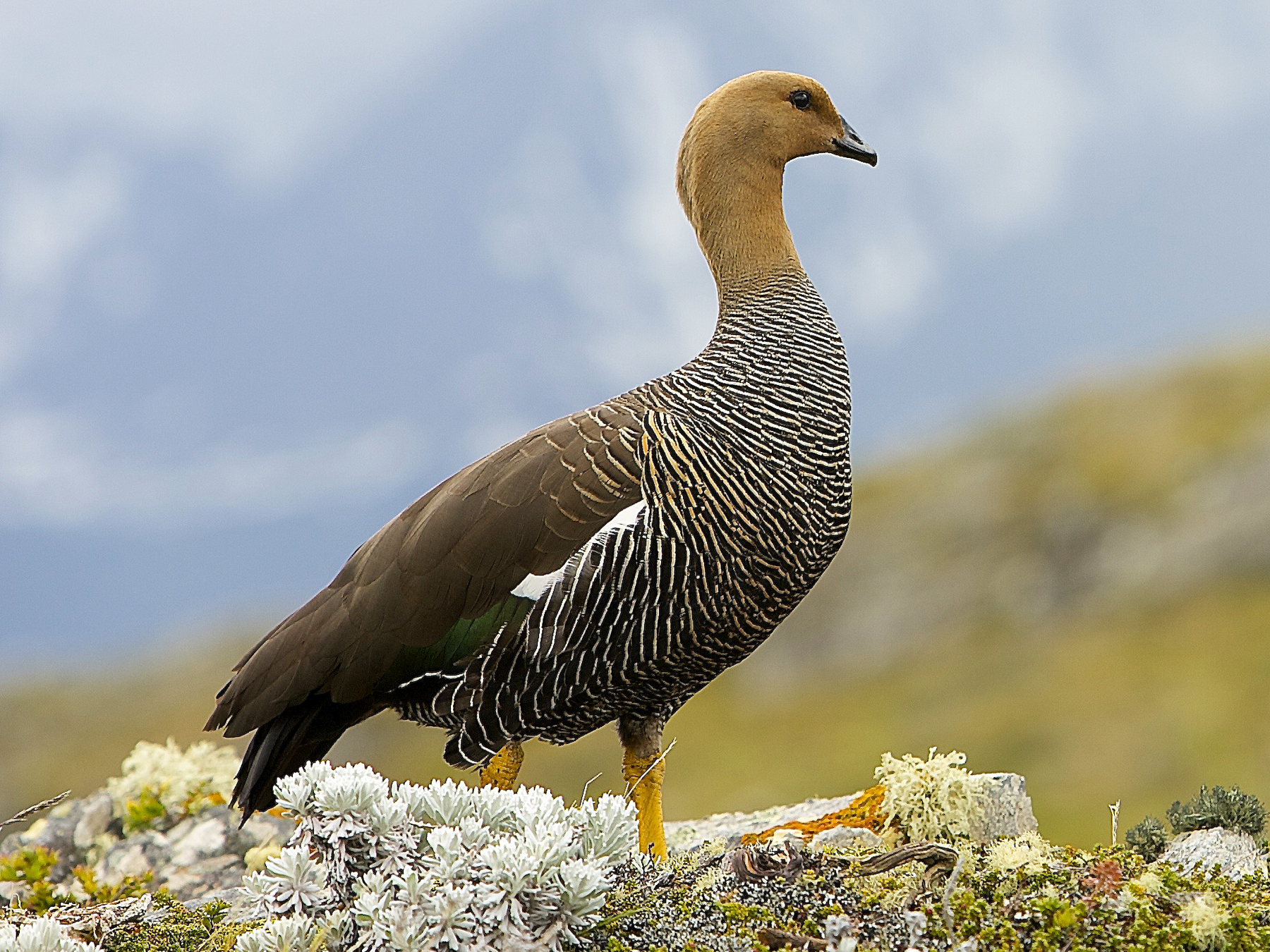 Upland Goose - Dominic  Garcia-Hall