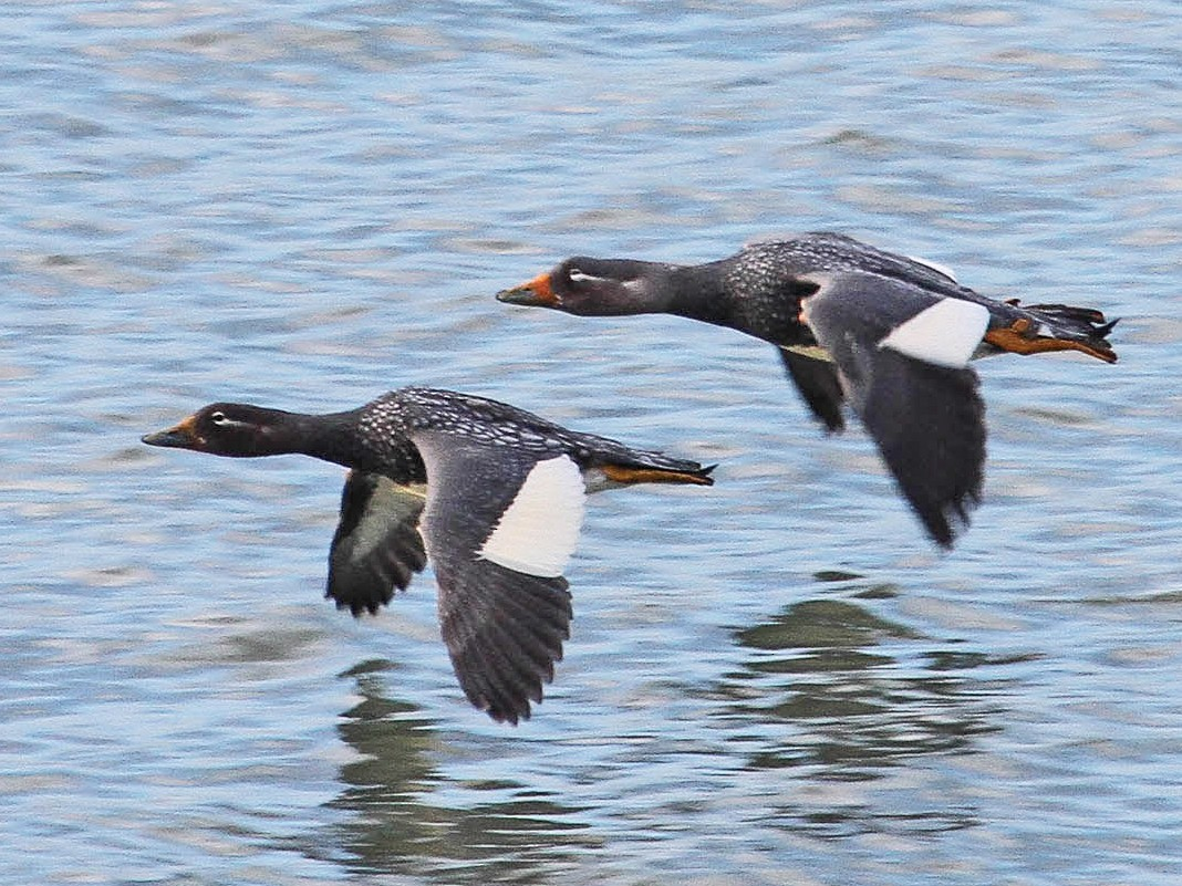 Flying Steamer-Duck - Santiago Imberti