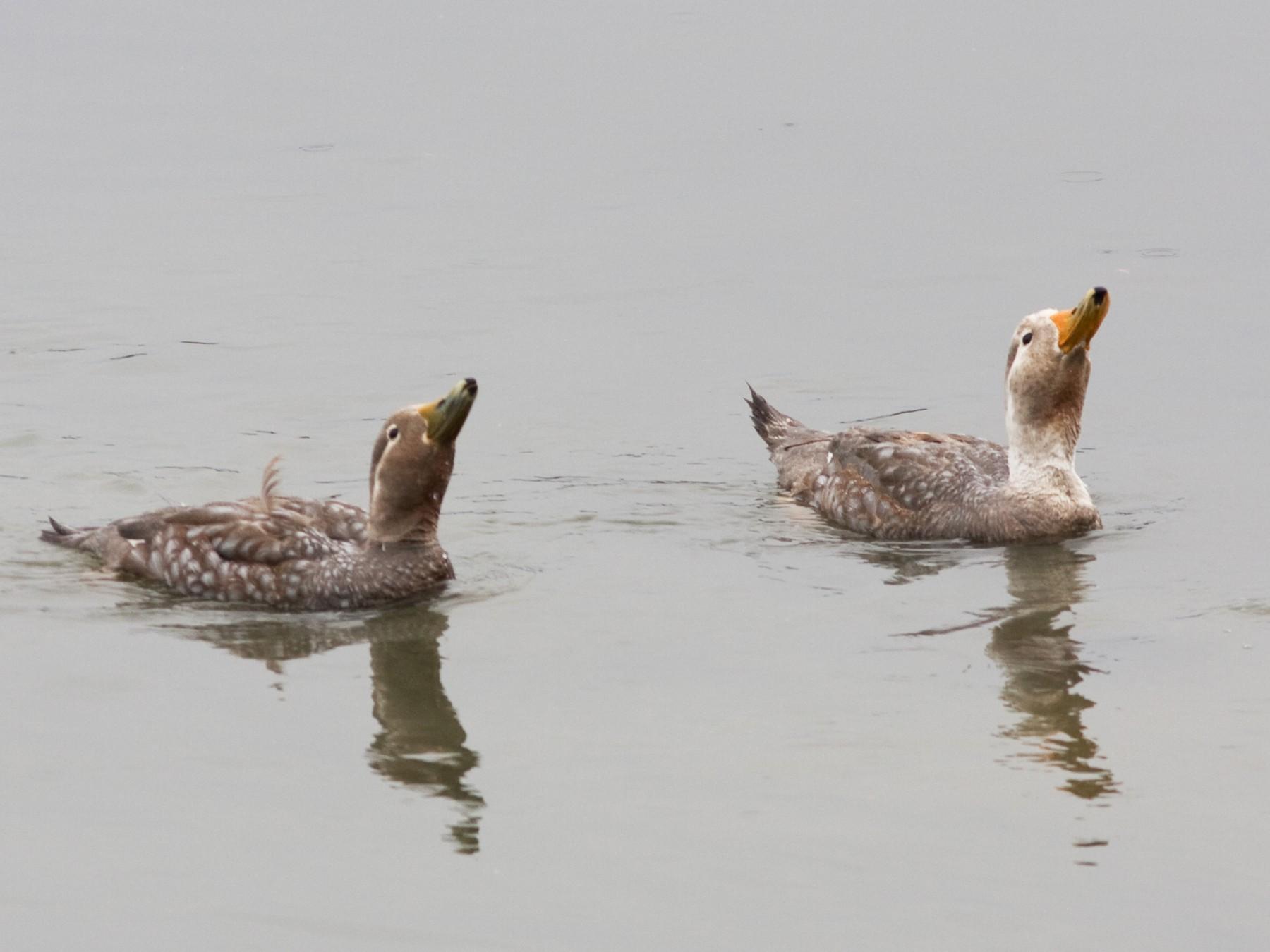 Flying Steamer-Duck - Marbry Hopkins