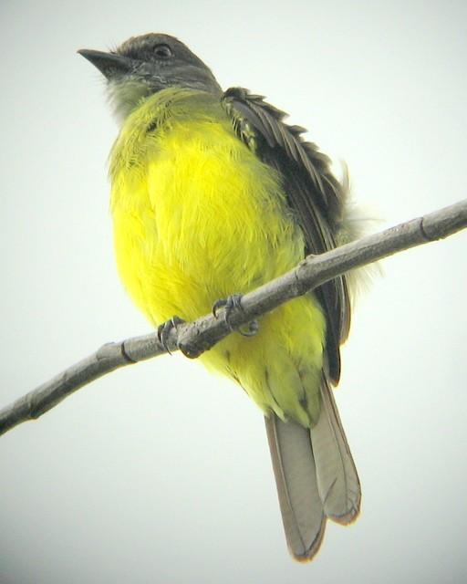 Dusky-chested Flycatcher