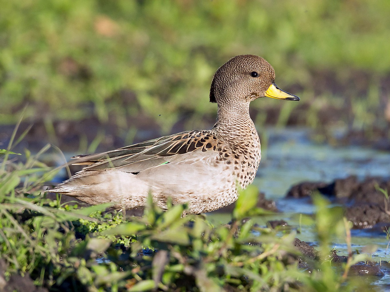 Yellow-billed Teal - Patricia Alfredo