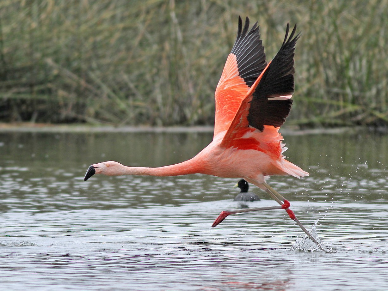 Chilean Flamingo - Jeremiah Trimble