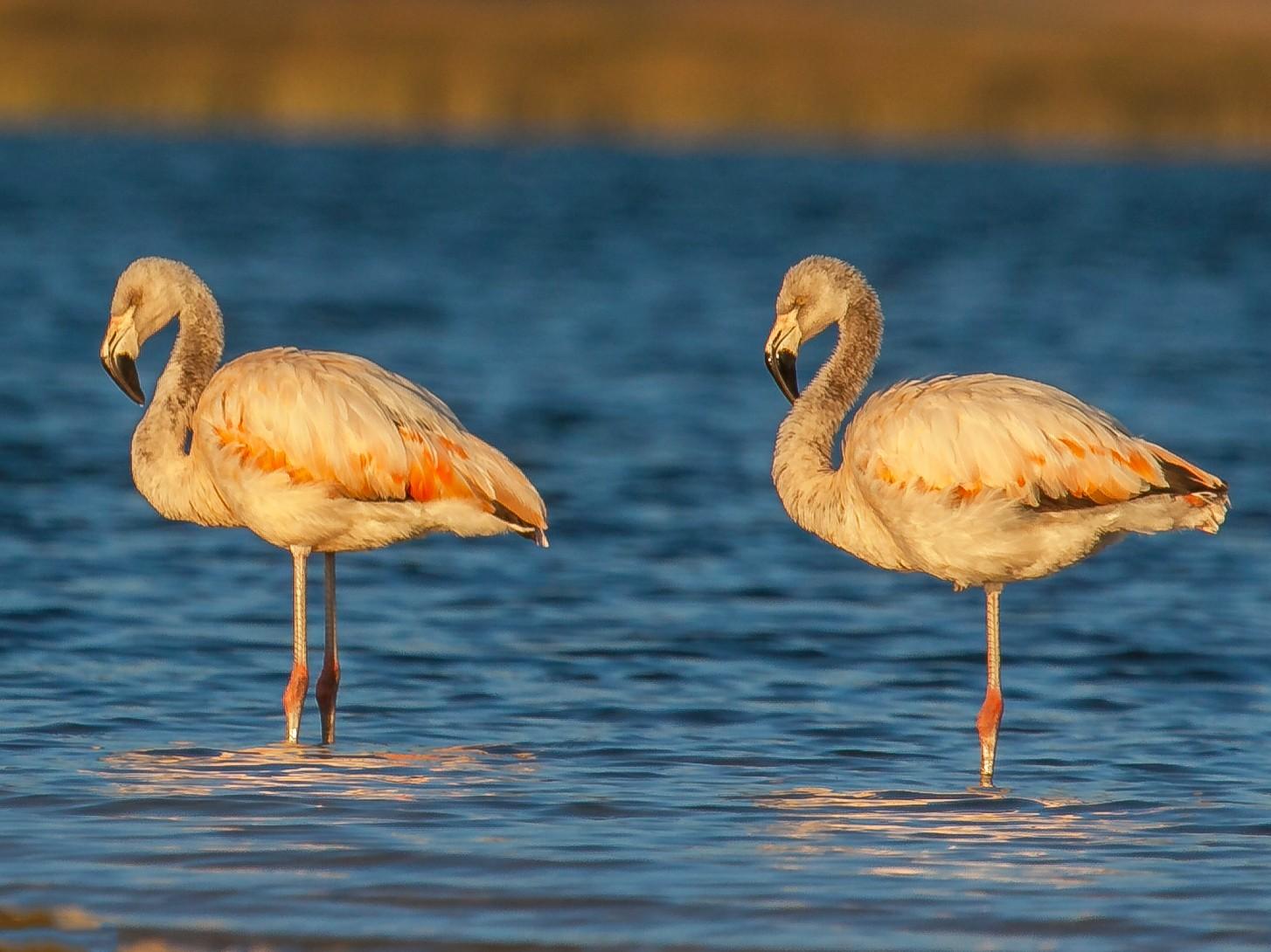 Chilean Flamingo - Mark Faherty