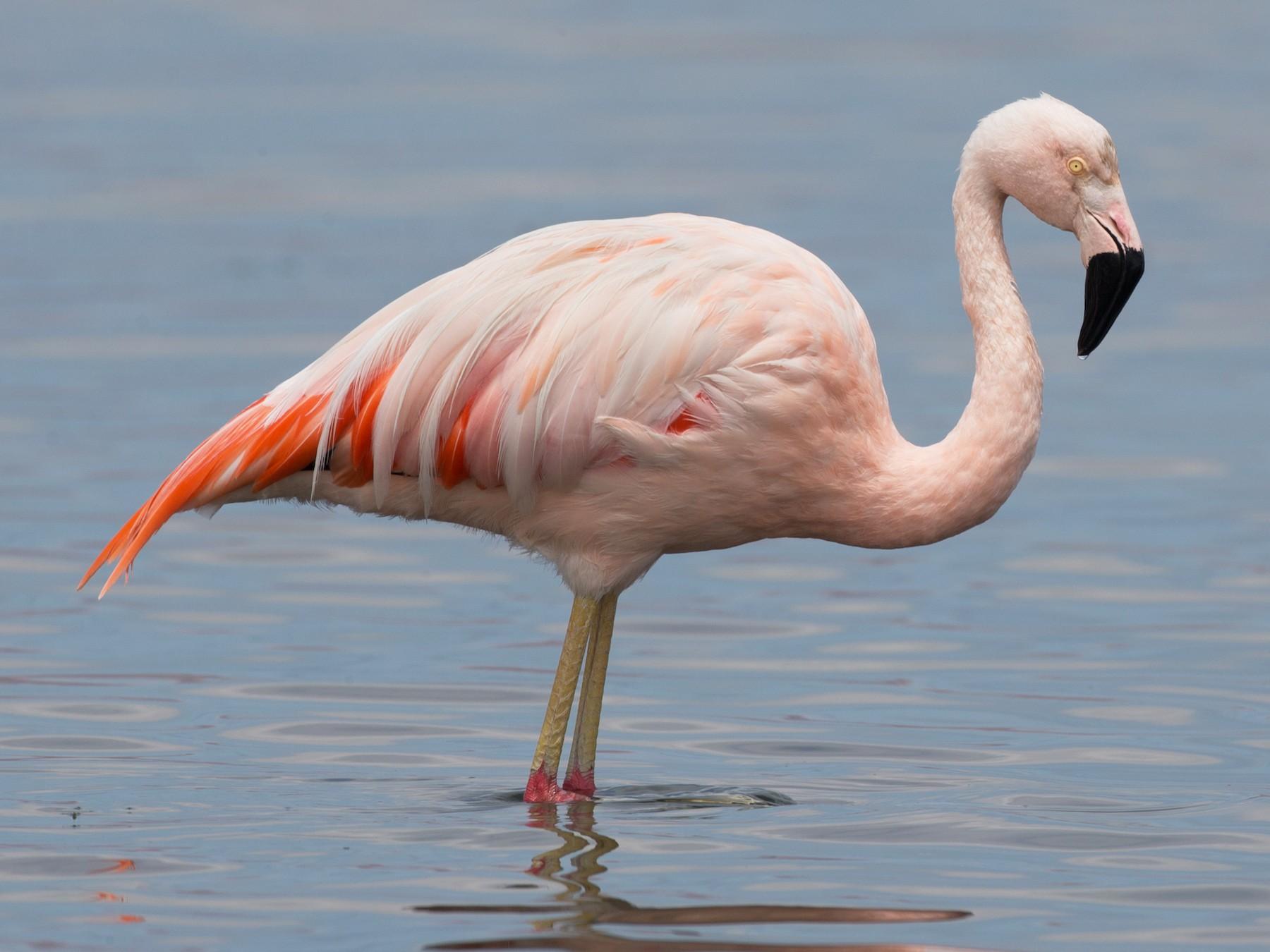 Chilean Flamingo - Chris Wood