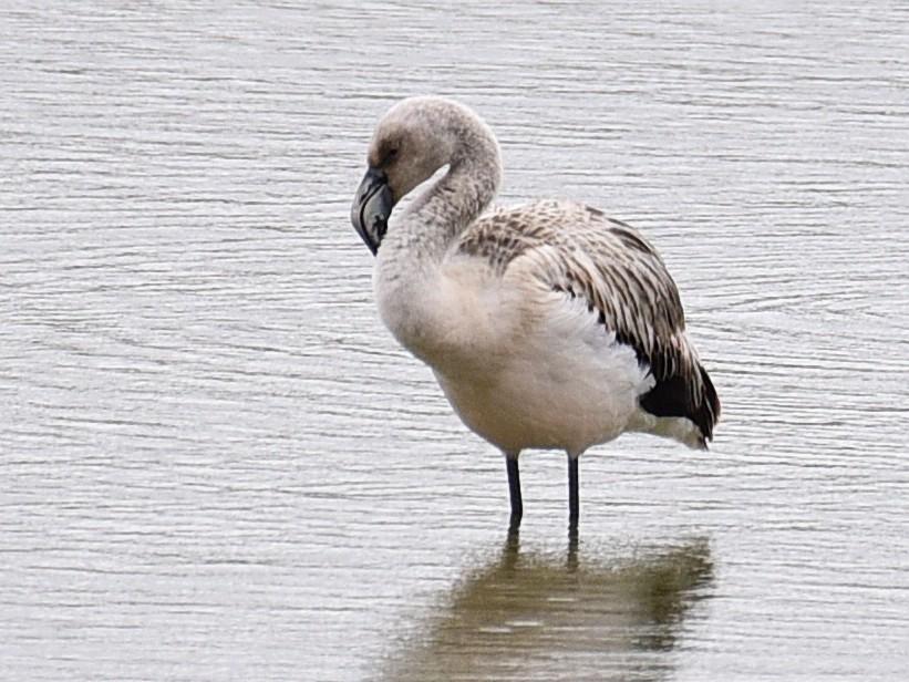 Chilean Flamingo - Luiz Moschini