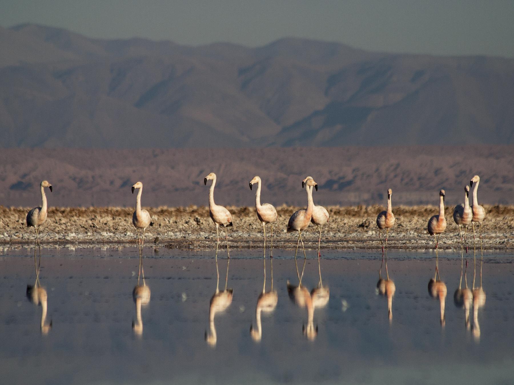 Chilean Flamingo - Dominic  Garcia-Hall