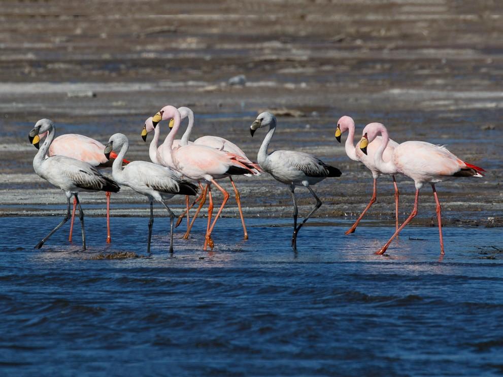 James's Flamingo - Silvia Faustino Linhares