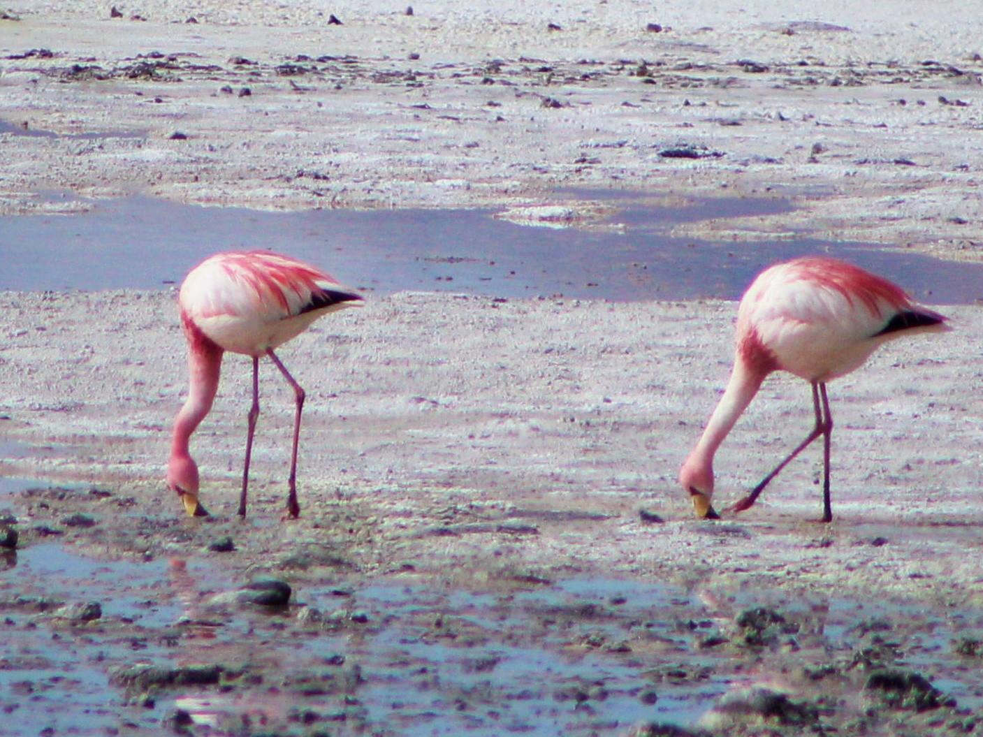 James's Flamingo - Matías Garrido
