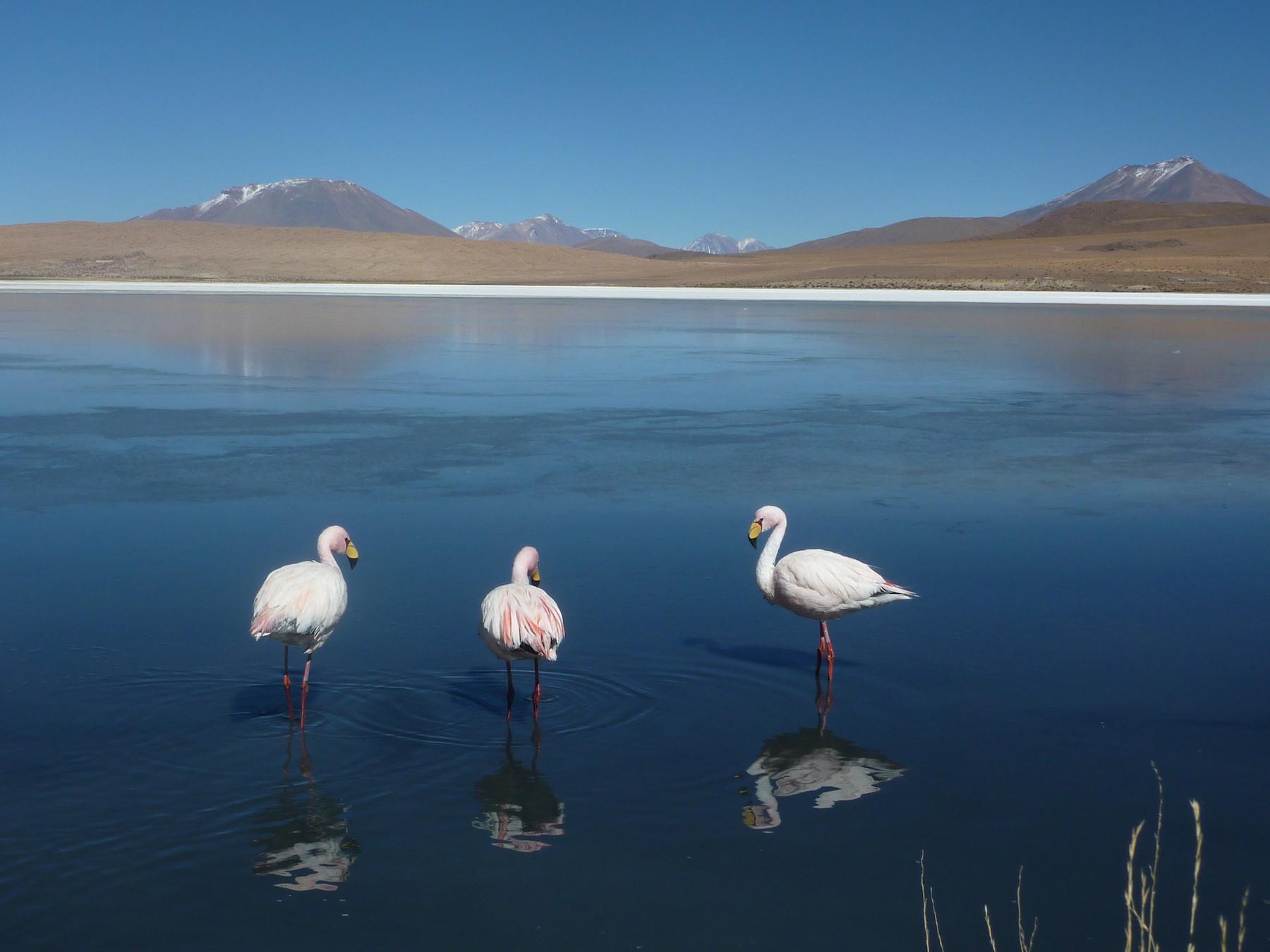 James's Flamingo - Carlo Castellani