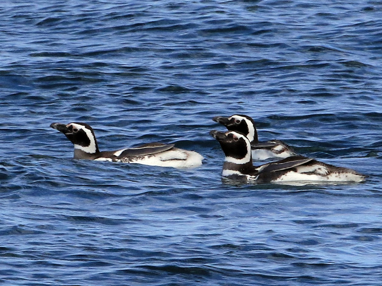 Magellanic Penguin - Patrick MONNEY