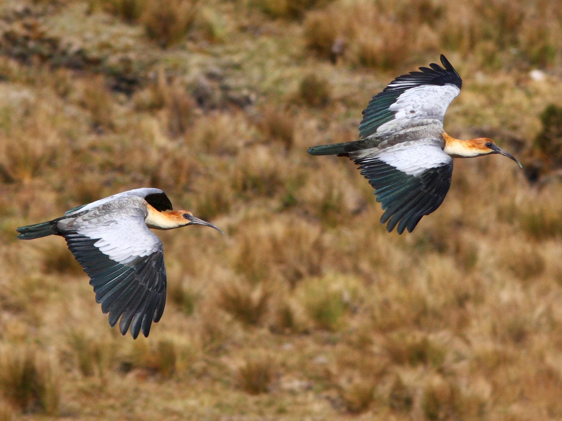 Black-faced/Andean Ibis - David Disher