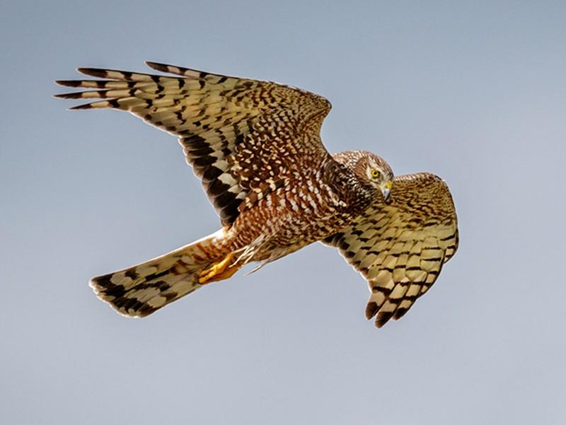 Cinereous Harrier - Pio Marshall