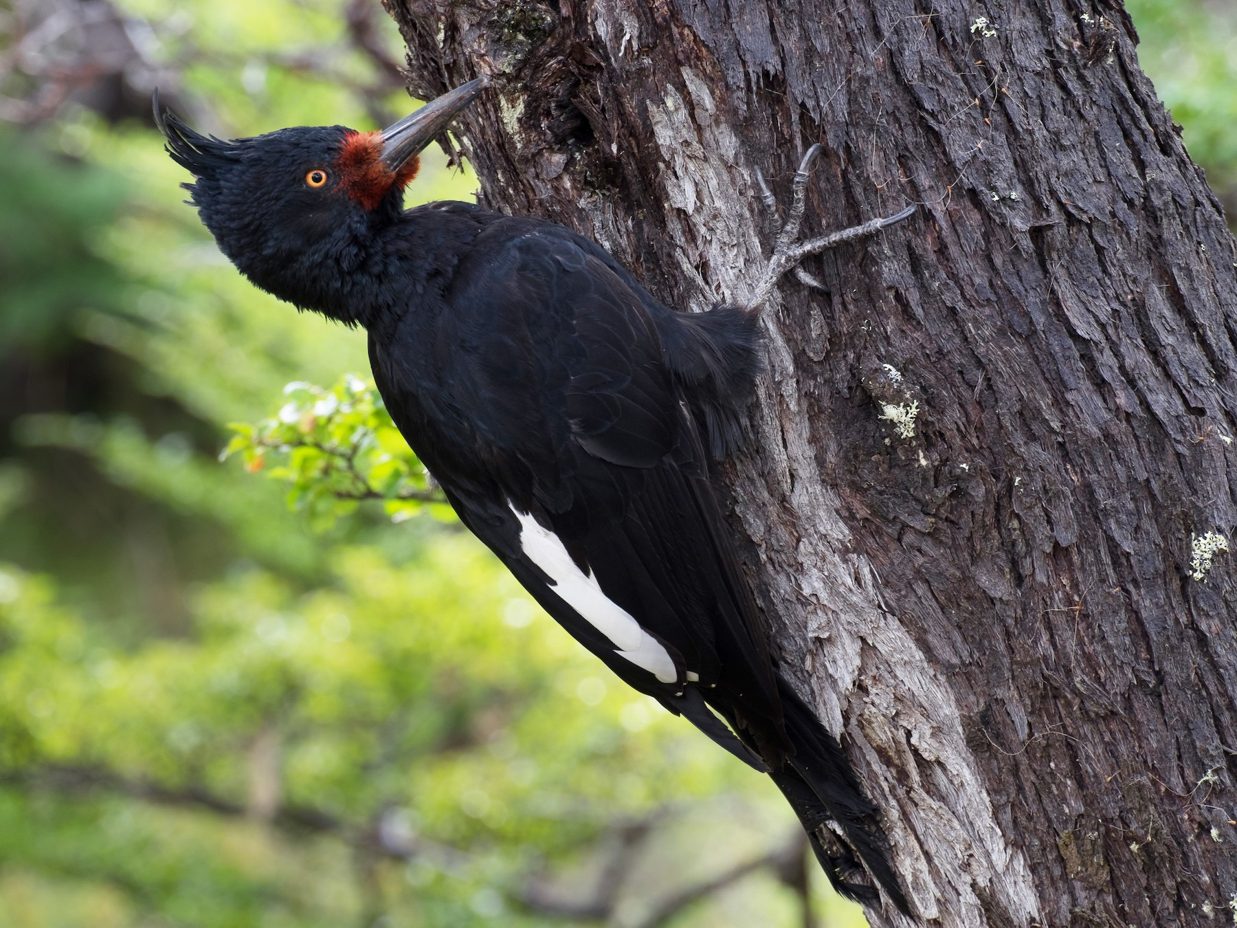 Magellanic Woodpecker - Leo Damrow