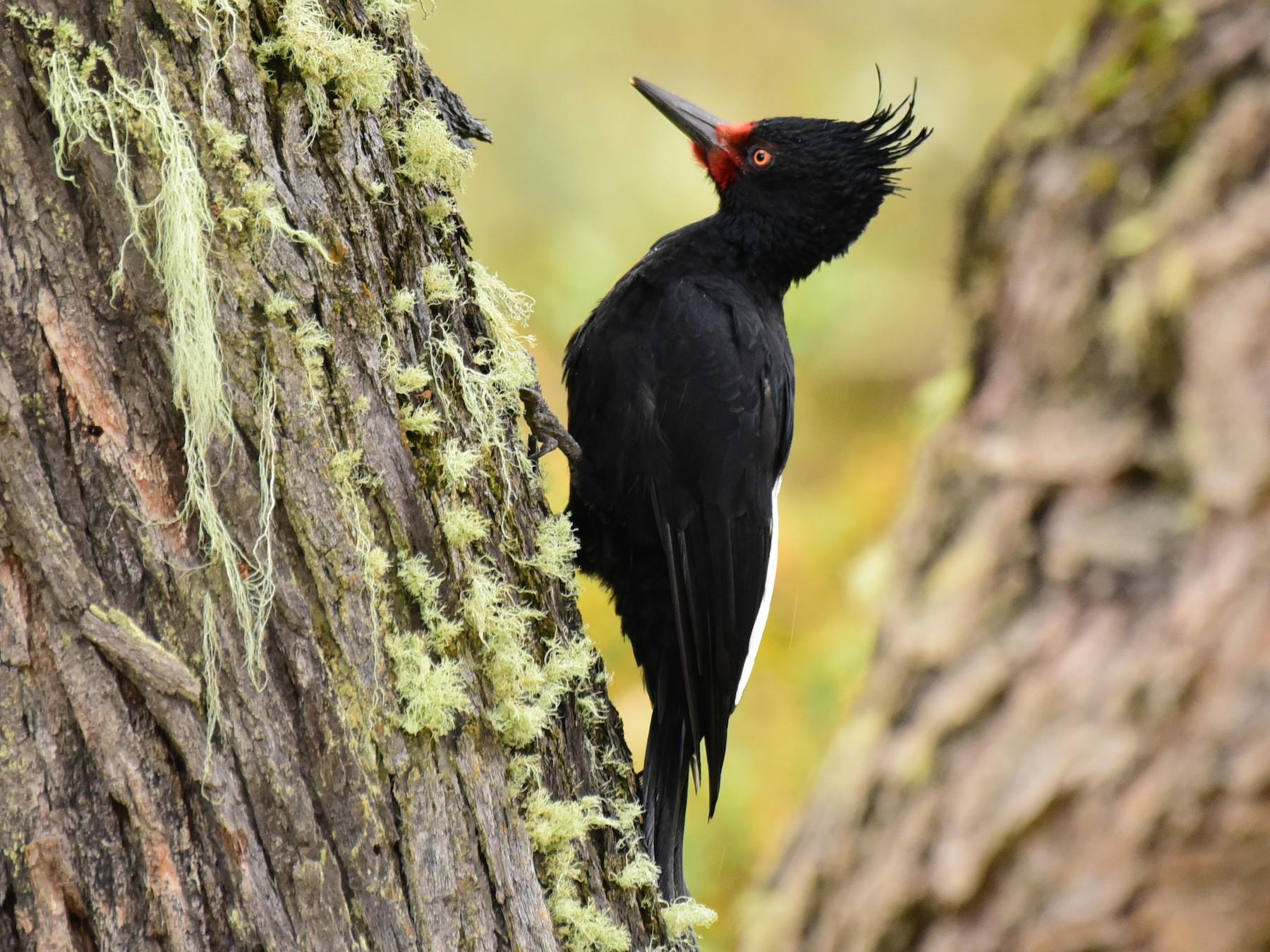 Magellanic Woodpecker - Luiz Moschini