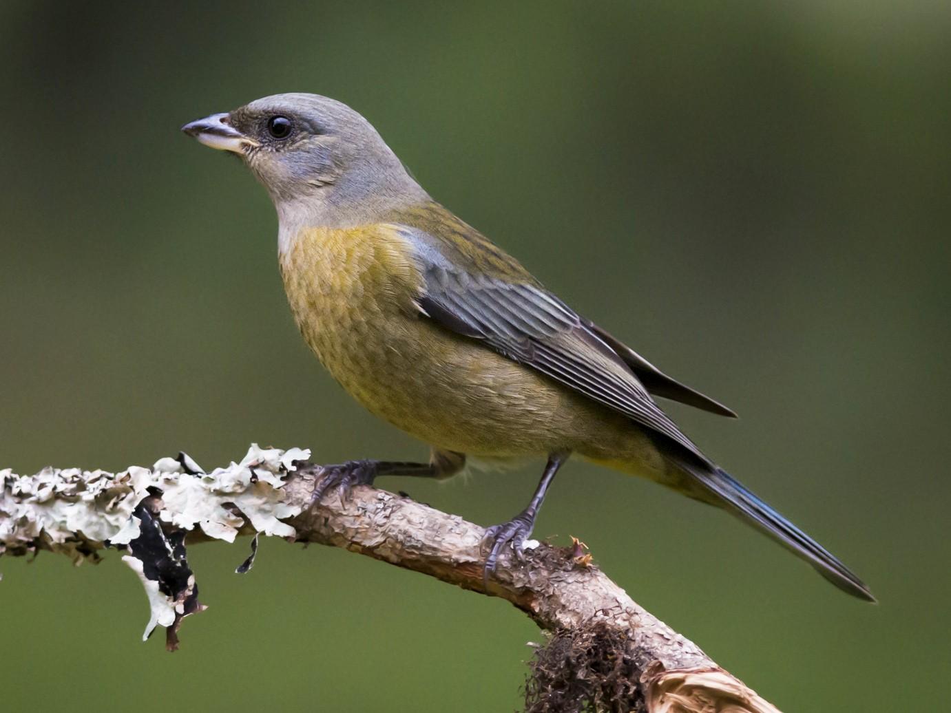 Blue-and-yellow Tanager - Claudia Brasileiro