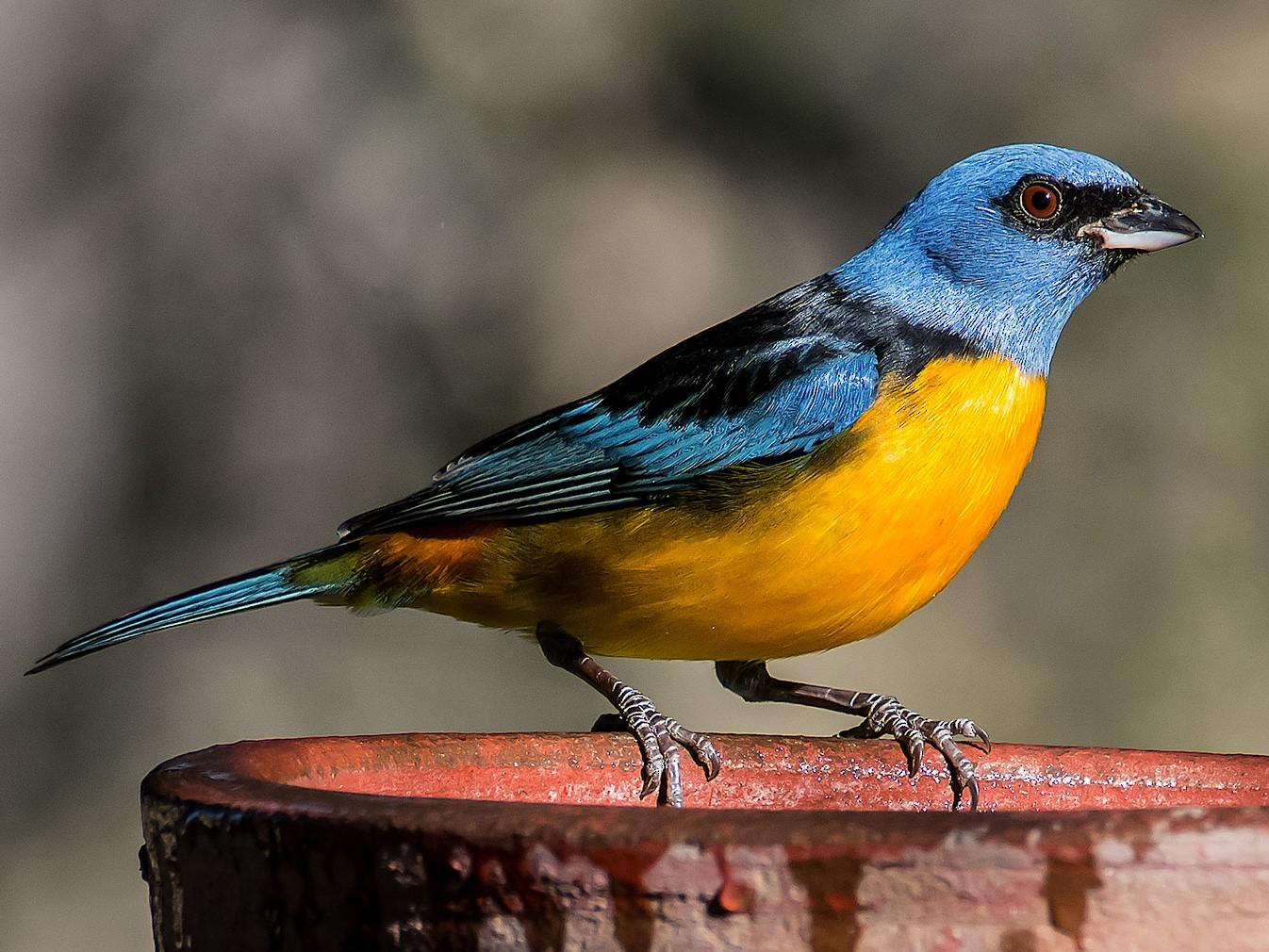 Blue-and-yellow Tanager - Gerardo Serra