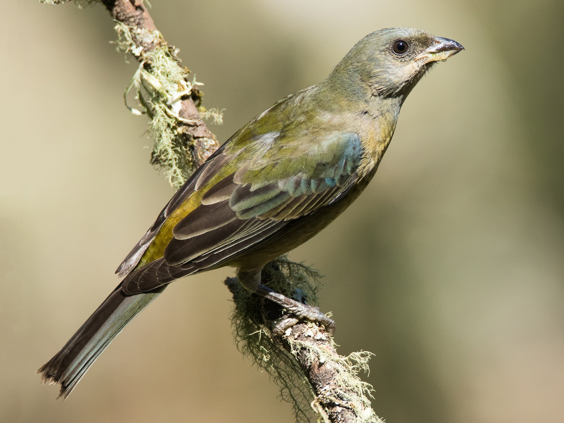 Blue-and-yellow Tanager - Luana Bianquini