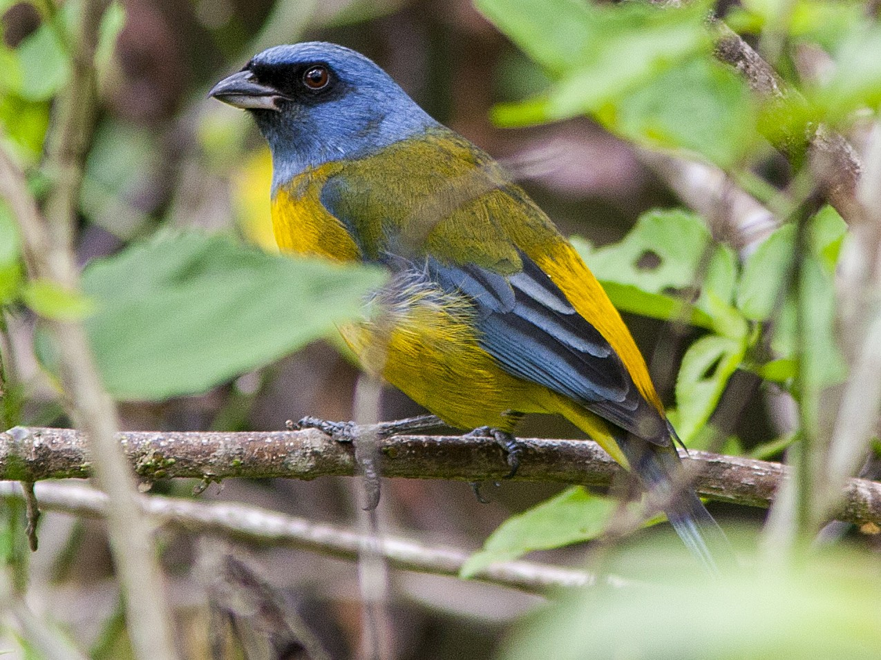 Blue-and-yellow Tanager - Bradley Hacker