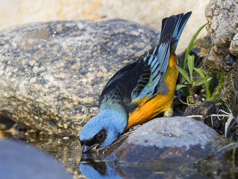 Blue-and-yellow Tanager - Evangelina Indelicato