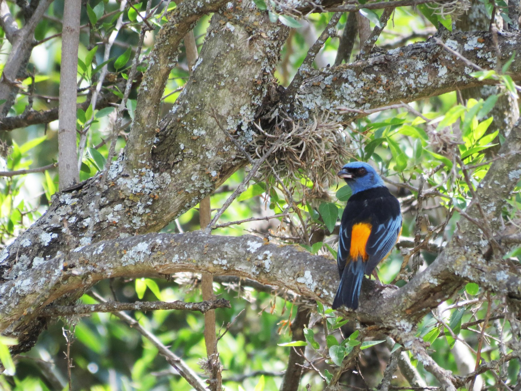 Blue-and-yellow Tanager - Florencia Warnes