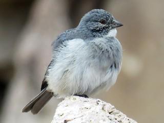 - White-throated Sierra-Finch