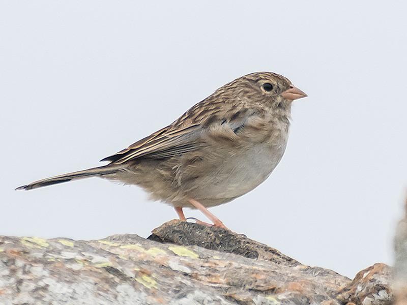 Band-tailed Sierra-Finch - Gerardo Serra