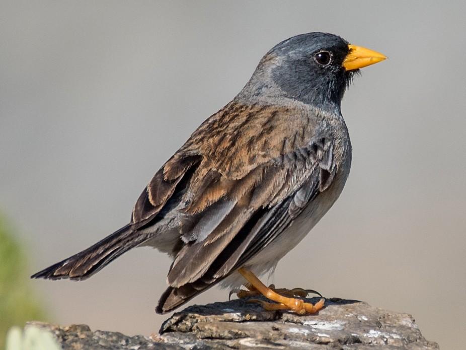 Band-tailed Sierra-Finch - Vicente Pantoja Maggi