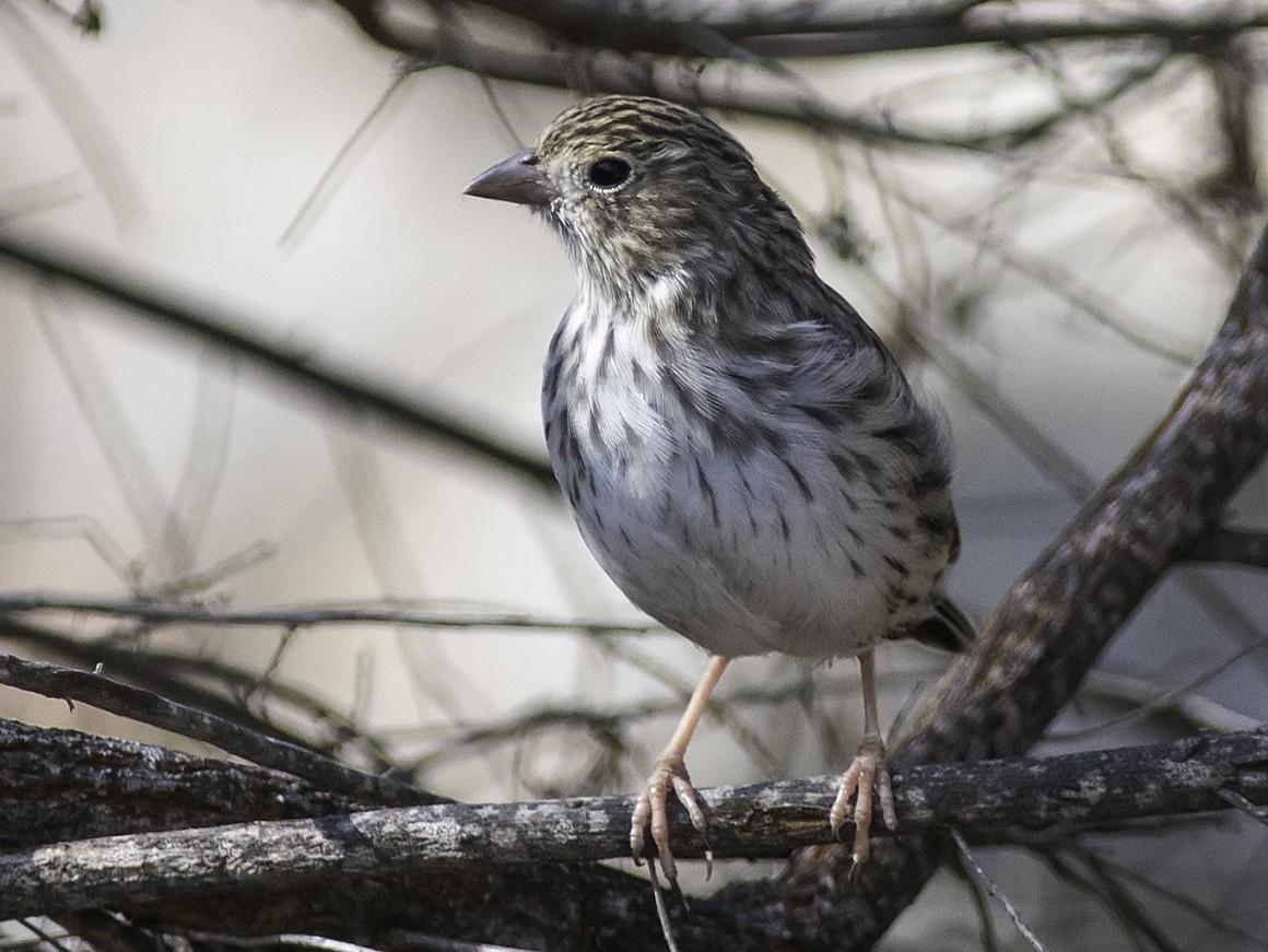 Band-tailed Sierra-Finch - Jerome Jourdan