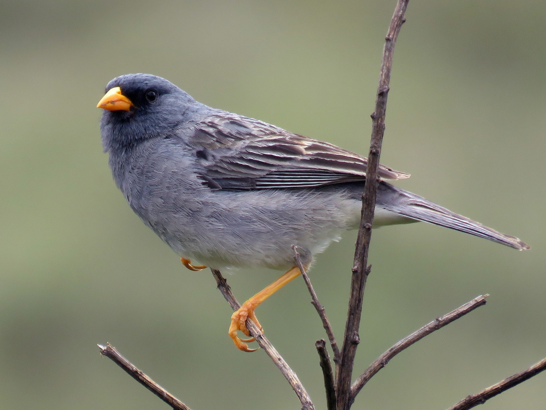 Band-tailed Sierra-Finch - Teresa Pegan 🦋