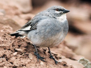 - White-winged Diuca-Finch