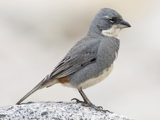 - Common Diuca-Finch