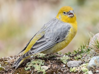 - Bright-rumped Yellow-Finch