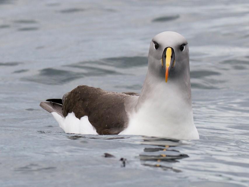 Gray-headed Albatross - Ric Else