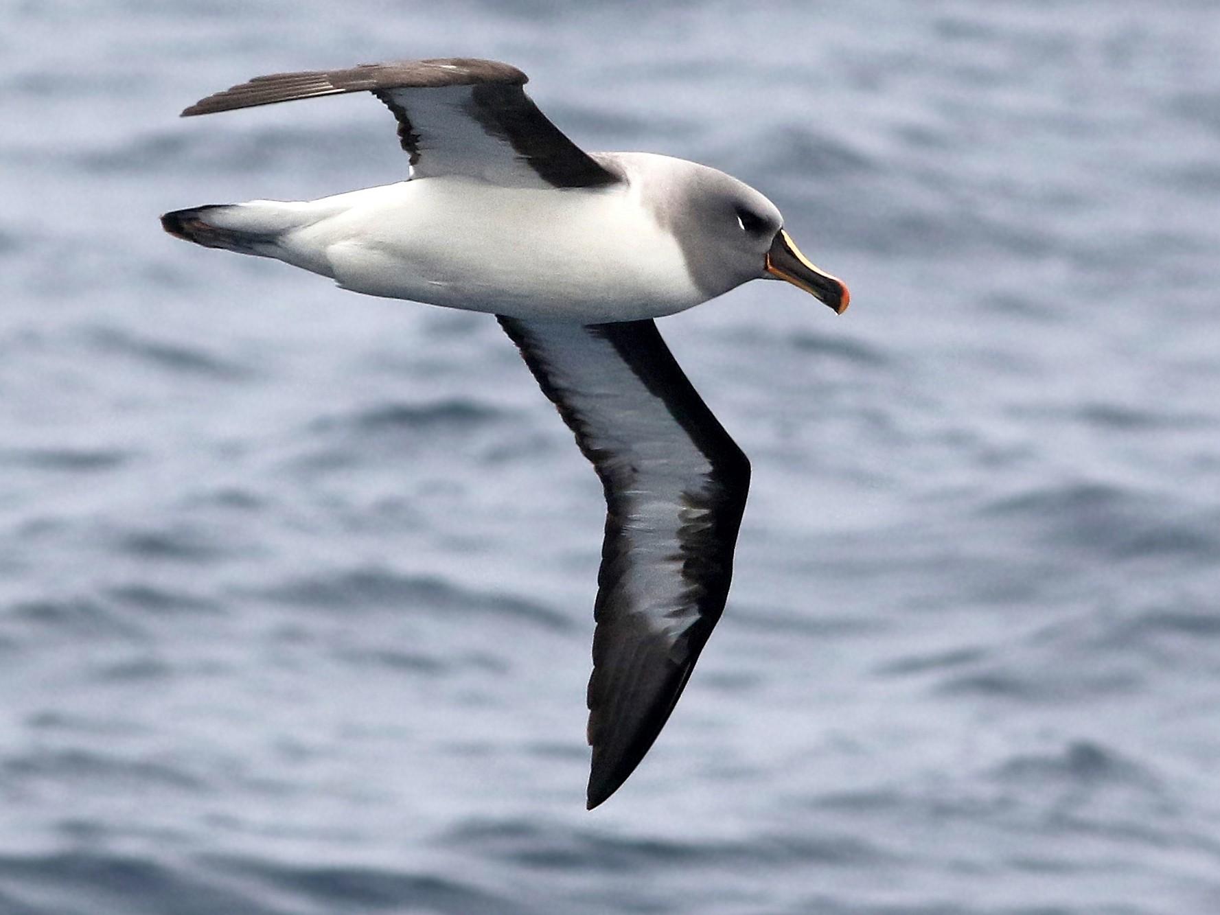 Gray-headed Albatross - Andrew Spencer