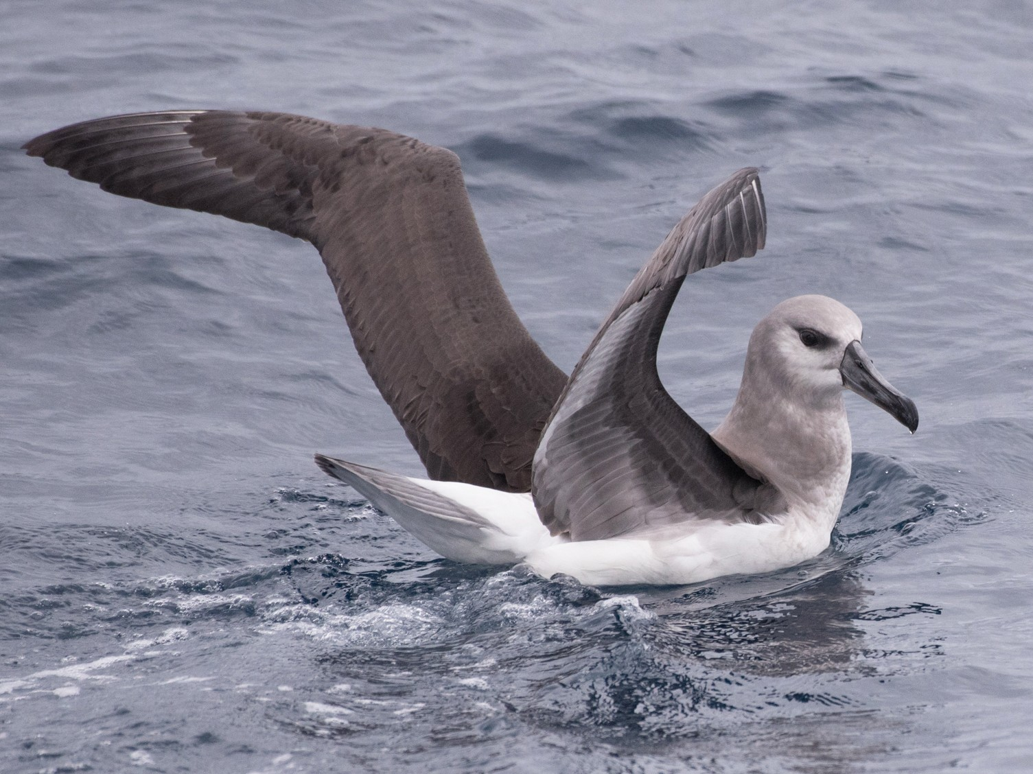 Gray-headed Albatross - John Daniels