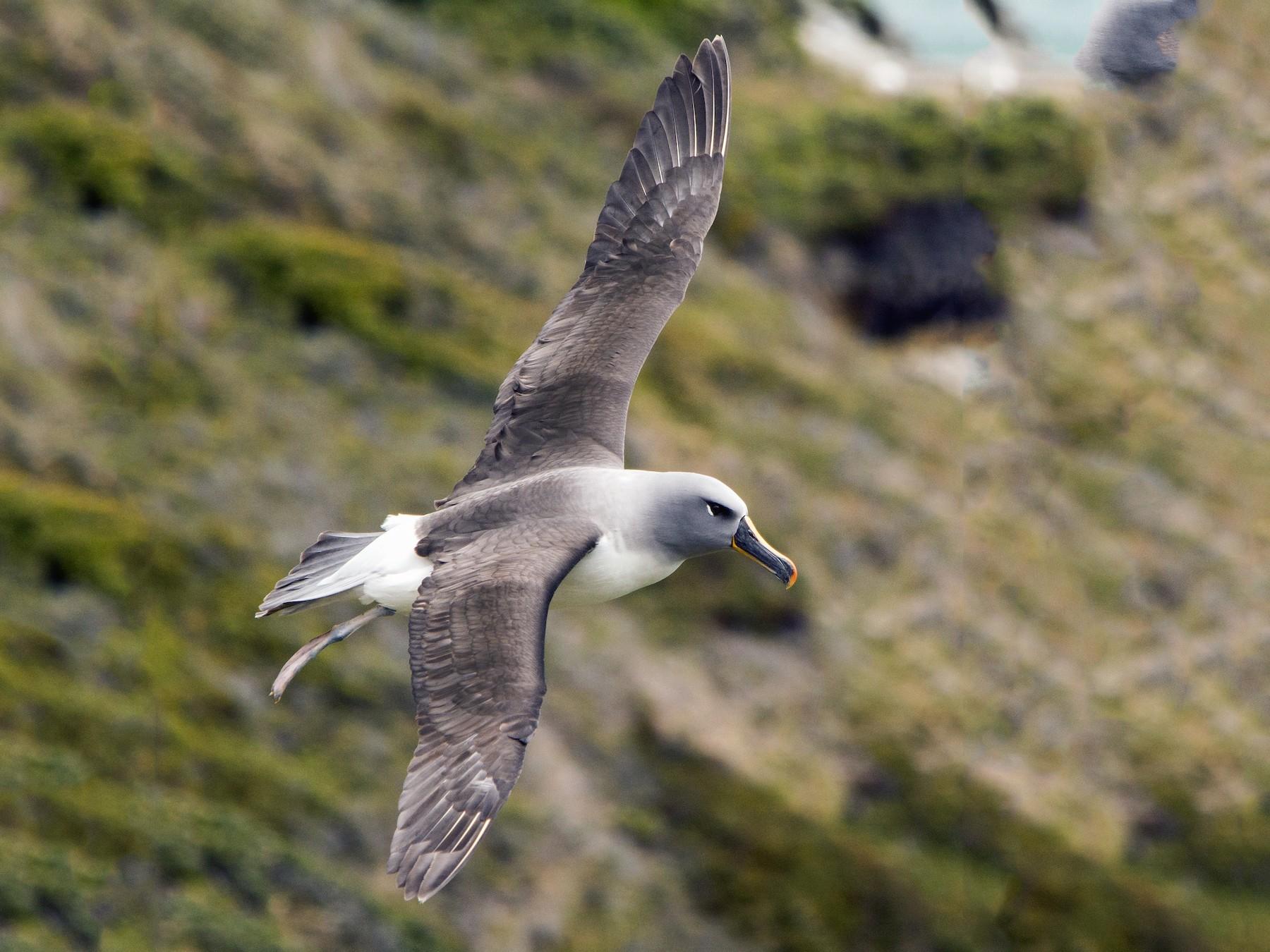 Gray-headed Albatross - Jorge Vidal Melián