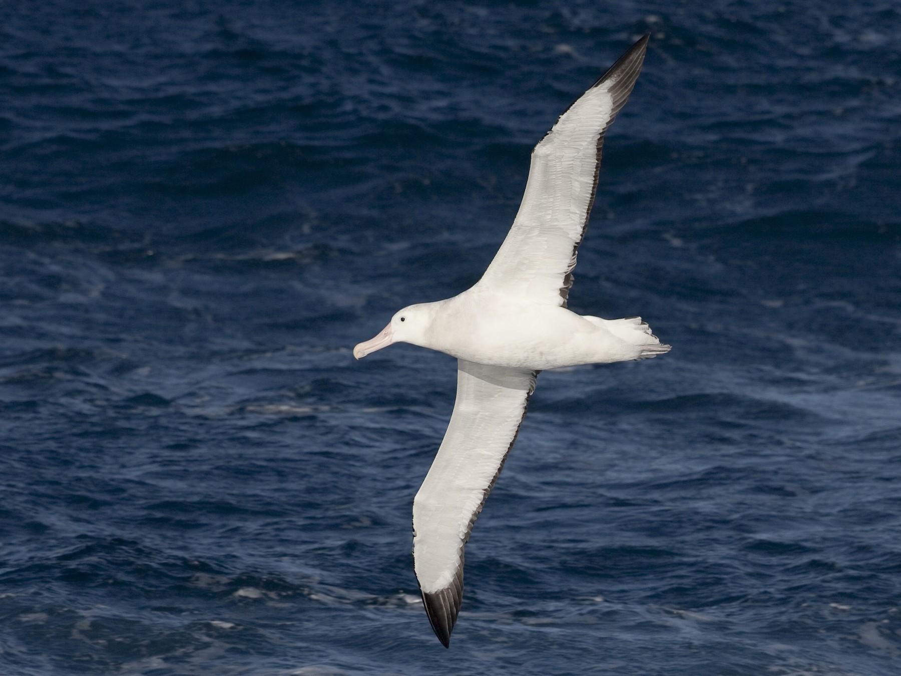 Wandering Albatross - Brian Sullivan